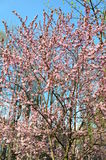 Spring flowering branches, pink flowers, no leaves, blossoms. Royalty Free Stock Photos