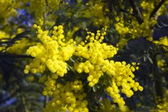 Spring blosom Mimosa flowers on blue sky stock images
