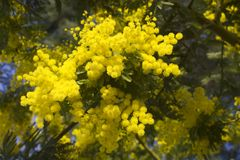 Spring blosom Mimosa flowers on blue sky royalty free stock image