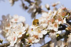 Spring Blossom 02. Bee enjoying the Spring Blossom on a Plum Tree, Haumoana, Hawke's Bay, New Zealand Royalty Free Stock Images
