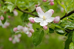 Spring blossom. Details of a delicate, fresh spring apple or cherry blossom Stock Photo