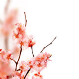Spring Blossom. Beautiful Spring Sakura Blossom Border.Isolated on white royalty free stock images