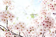 Spring blossom Royalty Free Stock Photos