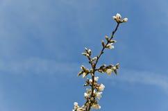 Spring Blossom. Close up of plum blossom against a deep blue sky Stock Image