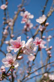Spring blossom. A bright pink cherry blossom in the spring Royalty Free Stock Photos