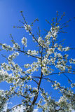 Spring blossom Royalty Free Stock Image