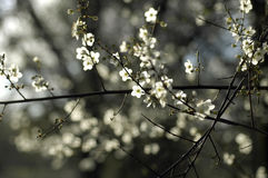 Spring blossom. Delicate flowers appear on a tree branch Stock Image