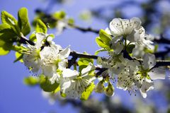Spring blossom. Close up shot of tree blossom against blue sky in spring stock photo