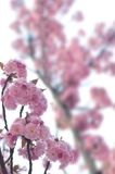 Spring blossom. Beautiful pink spring blossom background Stock Photography