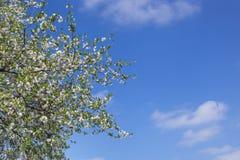 Spring blossom against blue sky Stock Photos