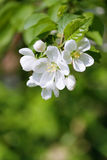 Spring  blossom.Apple brunch. Spring apple tree blossom. Outdoor Stock Image
