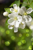 Spring  blossom.Apple brunch. Spring  blossom. Apple or cherry trees Royalty Free Stock Image