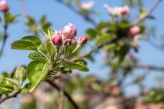 Spring Blossom Apple Tree Branch. Closeup image of apple tree spring blossom stock photo