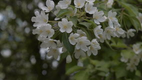 Spring blossom of apple tree. Close-up shot of blooming apple tree twig waving in the wind. Spring blossom stock video footage