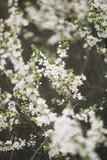 Spring blossom Royalty Free Stock Photos