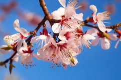 Spring blossom apricot Stock Image