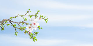 Spring blossom apricot tree against blue sky Stock Photos