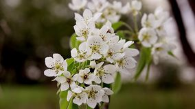 Spring blossom background - abstract floral border of green leaves and white flowers. Fruit tree blossom close-up. stock footage