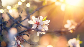 Spring blossom background. Beautiful nature scene Royalty Free Stock Photo