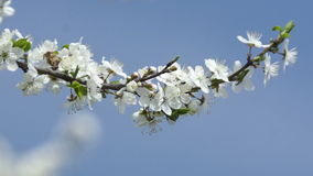 Spring Blossom Background. Beautiful Nature Scene With Blooming Tree stock video