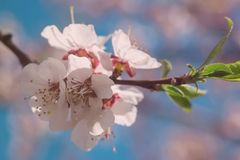 Spring blossom background. Beautiful nature scene with blooming tree and sun flare. Sunny day. Spring flowers. Beautiful royalty free stock photography