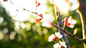 Spring blossom background. Beautiful nature scene with blooming tree. Sunny day. Spring flowers. Beautiful Orchard. Abstract blurred background. Springtime. HD stock video footage