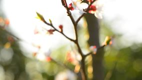 Spring blossom background. Beautiful nature scene with blooming tree. Sunny day. Spring flowers. Beautiful Orchard. Abstract blurred background. Springtime. HD stock video