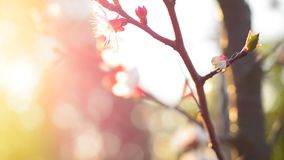 Spring blossom background. Beautiful nature scene with blooming tree. Sunny day. Spring flowers. Beautiful Orchard. Abstract blurred background. Springtime. HD stock footage