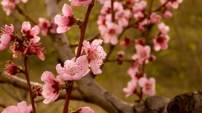 Spring blossom background stock footage