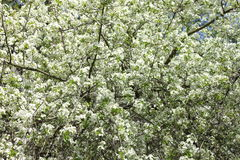 Spring blossom background, beautiful white flowers. Freshness, fragrance and tenderness Stock Image