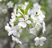 Spring blossom background, beautiful white flowers. Freshness, fragrance and tenderness Royalty Free Stock Photography