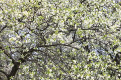 Spring blossom background, beautiful white spring flowers. Freshness, fragrance and tenderness. Spring landscape Stock Image