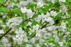 Spring blossom background Royalty Free Stock Image