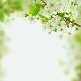 Spring blossom background, green leaves and white flowers