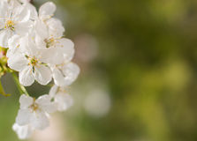 Spring blossom background, green leaves and white flowers Royalty Free Stock Images