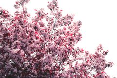 Spring blossom background with soft focus. Beautiful apple blossom. Spring background with soft focus. Copy space for your text stock photos