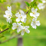 Spring blossom background Stock Image