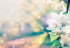 Spring blossom background with white tree flowers in garden or park. Toned Stock Photos