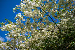Spring Blossom. Beautiful spring blossom with a blue sky Royalty Free Stock Image