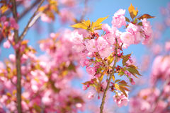 Spring Blossom. Beautiful Pink Flowers Stock Photo