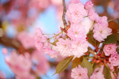 Spring Blossom. Beautiful Pink Flowers Royalty Free Stock Image