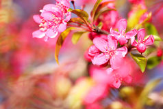 Spring Blossom. Beautiful Pink Flowers Stock Photos