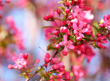 Spring Blossom. Beautiful Pink Flowers Stock Image