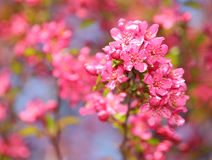 Spring Blossom. Beautiful Pink Flowers Stock Images