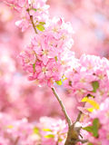 Spring Blossom. Beautiful Pink Flowers Stock Photography