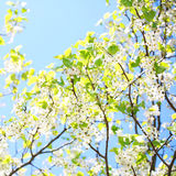 Spring Blossom of Bird Cherry Stock Photo