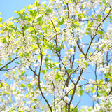 Spring Blossom of Bird Cherry. White Flowers Stock Image