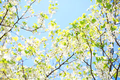 Spring Blossom of Bird Cherry. White Flowers Stock Photography