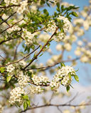 Spring Blossom of Bird Cherry Royalty Free Stock Photos