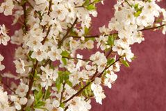Spring blossom Royalty Free Stock Photo